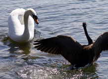 Beautiful  image of the Canada goose defending his family from the swan Stock Images