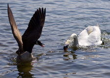 Beautiful  image of a Canada goose running away from an angry swan Stock Photo