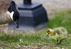 Beautiful image with a chick of the Canada geese and his mom Stock Images
