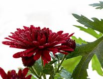 Beautiful image with chrysanthemum covered with raindrops stock photos