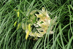 Beautiful image in cluster of white lilies and tall green grass Stock Images