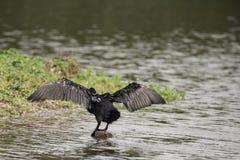 Beautiful image of Cormorant Phalacrocoracidae spreading wings i Royalty Free Stock Photo