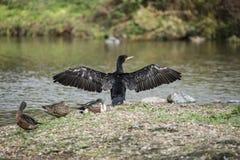Beautiful image of Cormorant Phalacrocoracidae spreading wings i Royalty Free Stock Image