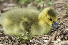 Beautiful  image with a cute chick of Canada geese Royalty Free Stock Image