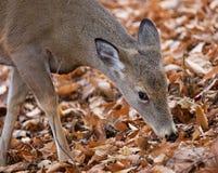 Beautiful image of the cute deer eating leaves Royalty Free Stock Photo