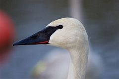 Beautiful image with a cute trumpeter swan Stock Photography
