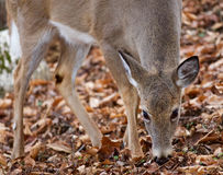 Beautiful image with a deer eating leaves in the forest Stock Image