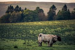 Cows grace the Scottish highlands. This beautiful image depicts a pair of Cows that grace the Scottish highlands Royalty Free Stock Images