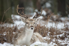 Beautiful image of Fallow Deer in snow Winter landscape Royalty Free Stock Images