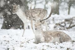 Beautiful image of Fallow Deer in snow Winter landscape in heavy snow storm stock photos