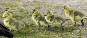 Beautiful image with five cute chicks of the Canada geese going through the grass field Stock Photo