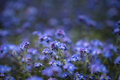Beautiful image of forget-me-not Myosotis Scorpioides phlox flow. Fine art image of forget-me-not Myosotis Scorpioides phlox flower in Spring overflowing from stock photography