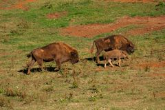 Young bison surrounded by adults walking through the field stock image