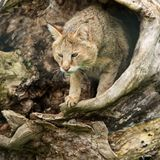 Stunning image of jungle cat Felis Chaus in hollowed out tree tr. Beautiful image of jungle cat Felis Chaus in hollowed out tree trunk Stock Images