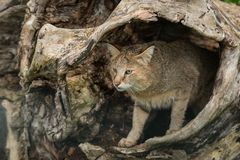 Stunning image of jungle cat Felis Chaus in hollowed out tree tr. Beautiful image of jungle cat Felis Chaus in hollowed out tree trunk Stock Image