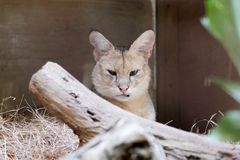 Beautiful image of jungle cat Felis Chaus. In the zoo royalty free stock image