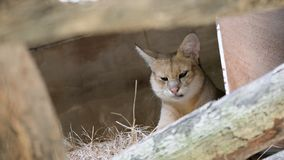 Beautiful image of jungle cat Felis Chaus. In the zoo stock images