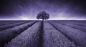 Beautiful image of lavender field landscape with single tree ton. Ed in purple Royalty Free Stock Photo