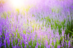 Beautiful image of lavender field. Royalty Free Stock Photos