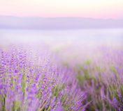 Beautiful image of lavender Royalty Free Stock Photos