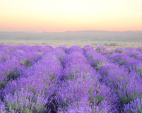 Beautiful image of lavender Royalty Free Stock Images