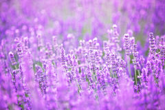 Beautiful image of lavender field over ummer sunset landscape. Royalty Free Stock Photos