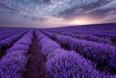 Beautiful image of lavender field. Summer sunrise landscape, contrasting colors. Beautiful clouds, dramatic sky. Lavender fields. Beautiful image of lavender Royalty Free Stock Photos
