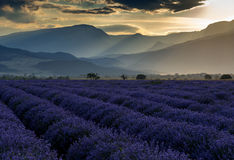 Beautiful image of lavender field on sunset Royalty Free Stock Images