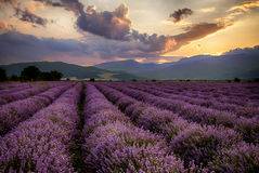 Beautiful image of lavender field on sunset Royalty Free Stock Photo