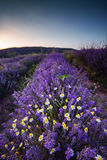 Beautiful image of lavender field and White camomiles. Stock Images