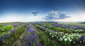 Beautiful image of lavender field and White camomiles. Royalty Free Stock Photography