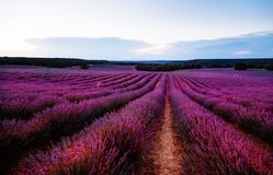 Beautiful image of lavender fields. Summer sunset landscape.  Royalty Free Stock Photography