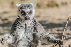 Beautiful image of a lemur sitting on the ground with two branches of a tree in his hand stock photo