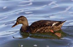 Beautiful image of a mallard swimming in lake. Beautiful photo of a mallard swimming in lake Royalty Free Stock Photography