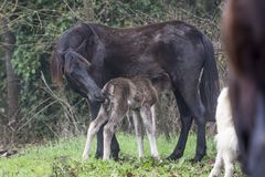 Beautiful image of a mare feeding her foal stock image