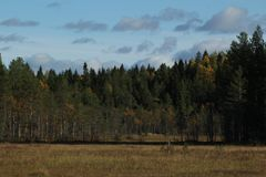 Coniferous forest in the Autumn. A bog in the foreground. This beautiful image with a nearly clear blue sky captures the magic of Nordic Autumn. The distant and royalty free stock photos