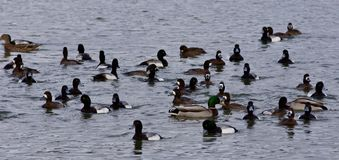 Free Beautiful Image Of A Swarm Of Ducks In The Lake Royalty Free Stock Photography - 81035827