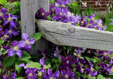 Beautiful Image Of Colorful Clematis Climbing On Wood Fence Stock Images