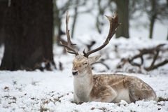 Beautiful Image Of Fallow Deer In Snow Winter Landscape Stock Photography