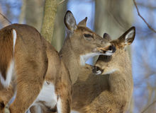 Beautiful image with a pair of the cute wild deers Stock Images