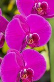 Beautiful pink orchids with a green background stock photography