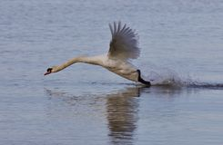 Beautiful image with a powerful swan`s take off Royalty Free Stock Images