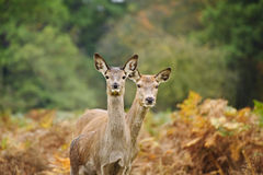 Beautiful image of red deer female does Stock Photos