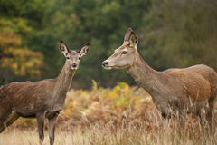 Beautiful image of red deer female does Stock Images