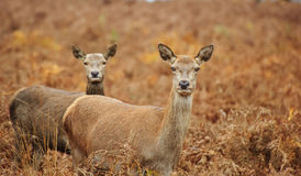 Beautiful image of red deer female does Royalty Free Stock Photos