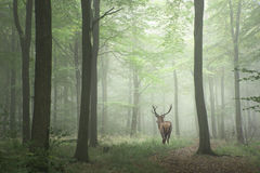 Beautiful image of red deer stag in foggy Autumn colorful forest Stock Images