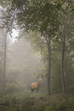 Beautiful image of red deer stag in foggy Autumn colorful forest Royalty Free Stock Photos