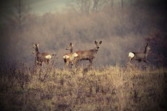 Beautiful image with roe deers Stock Photo