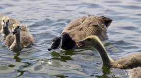 Beautiful  image with a scared chicks of the Canada geese Royalty Free Stock Photos
