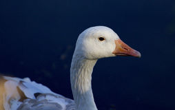 Beautiful image with the snow goose in the water Stock Images